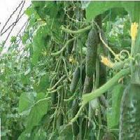 Семена огурца Кибрия F1 (1000 сем.)