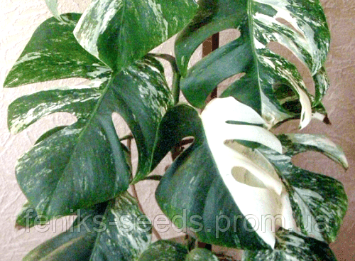 Монстера вариегатная «Альба» — молодое растение 10-15 см