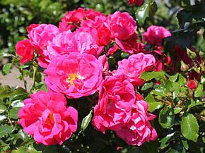 Роза Гартенфройде (Gartnerfreude) Почвопокровная, фото 2