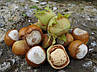 Саженцы фундука Долинский 2-х летний отводок, фото 5