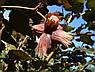 Саженцы фундука ЛАМБЕРТ краснолистный   3-х летний отводок, фото 2