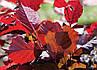 Саженцы фундука Варшавский краснолистный 3-х летний отводок, фото 2