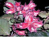 Саженцы фундука Варшавский краснолистный 3-х летний отводок, фото 3