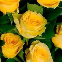 Роза илиос