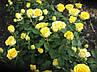 Роза илиос, фото 2