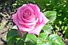 Чайно-Гибридная роза сорта Аква, фото 3