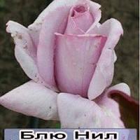 Чайно-гибридная роза сорта Голубой нил