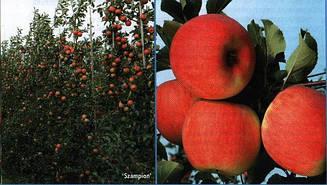 Яблуня Чемпион