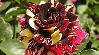 Чайно-гибридная роза сорта Абра Кадабра