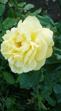 Роза  Старлайт (саженцы)