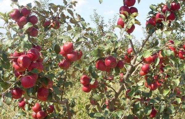 Яблуко Дискавери (саженцы)