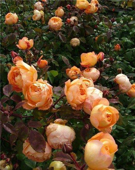 Роза бордюрная Дольче Вита