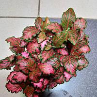 Горшечное растение  Фитония