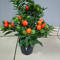 Горшечное растение Паслен