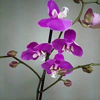 Горшечное растение Орхидея Фаленопсис стандарт