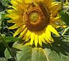 Семена подсолнечника Одісей імі (Экстра)