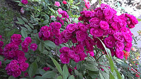 Роза Динки (Dinky) Шраб, фото 2
