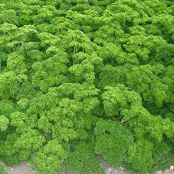Семена петрушки кучерявой (Петра 500 г)