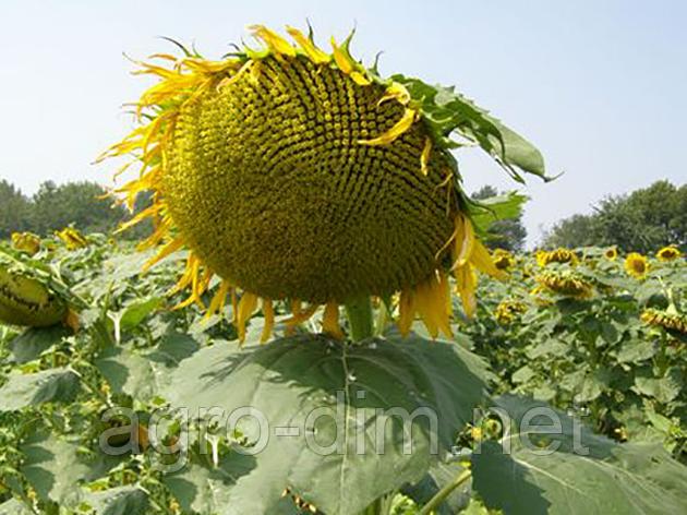 Семена подсолнечника под гранстар Фолк (ВНИС), фото 2