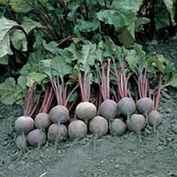 Пабло F1 - семена свеклы столовой, 10 000 семян, Bejo/Бейо (Голландия)