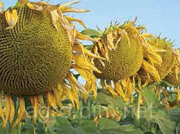 Семена подсолнечника Кастелло ОР7 , фото 2
