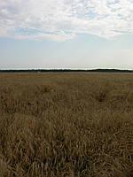 Семена пшеницы твёрдой яровой Изольда, сепер элита
