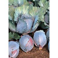 Рокси F1 - капуста краснокочанная, 2500 семян, Seminis Голландия
