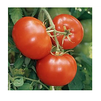 Зульфия F1 - томат, 100 семян, Rijk Zwaan (Рийк Цваан), Голландия