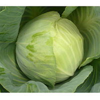 Блоктор F1 -  капуста белокочанная, 500 семян, Syngenta (Сингента), Голландия - Фасовка