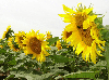 Семена подсолнечника НС Х 1752 Екстра