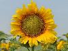 Семена подсолнечника НС Имисан Стандарт