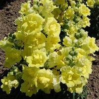 Семена антиринум Твинни F1, карликовый махровый желтый 1 000 сем.