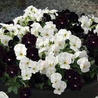 Семена виола Корина F1, бело-черная смесь 1 000 сем.