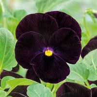 Семена виола Корина F1, бархатно-черная 1 000 сем.