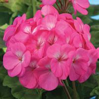 Семена пеларгония Павла F1, зональная зеленолистная фиолетово-розовая с глазком 1 000 сем. (драже)