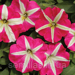 Семена петуния Белинда F1, многоцветковая низкорослая (мультифлора) розово-белая звезда 1 000 сем. (драже)
