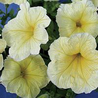 Семена петуния Береника F1, многоцветковая низкорослая (мультифлора) желтая 1 000 сем. (драже)