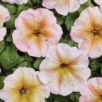 Семена петуния Ингрид F1, многоцветковая низкорослая (мультифлора) кремовая с коричневыми прожилками 1 000 сем. (драже)