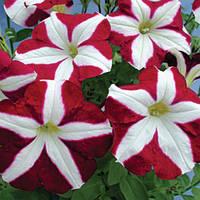 Семена петуния Кристина F1, многоцветковая низкорослая (мультифлора) пурпурно- белая звезда 1 000 сем. (драже)
