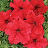 Семена петуния Ласка F1, крупноцветковая низкорослая (грандифлора) красная 1 000 сем. (драже)