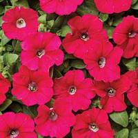 Семена петуния Карлик F1, мелкоцветковая низкорослая (минифлора) темно-розовая 1 000 сем. (драже)