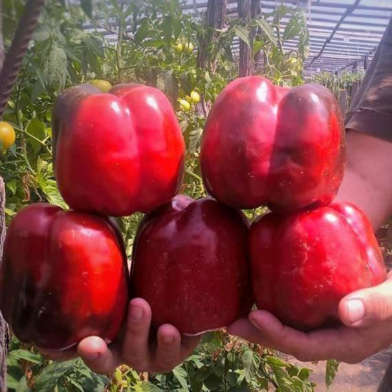 Семена перца сладкого Банкерс F1 (500 сем.) Enza Zaden
