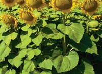 Семена подсолнечника Гиперсол, Mirasol