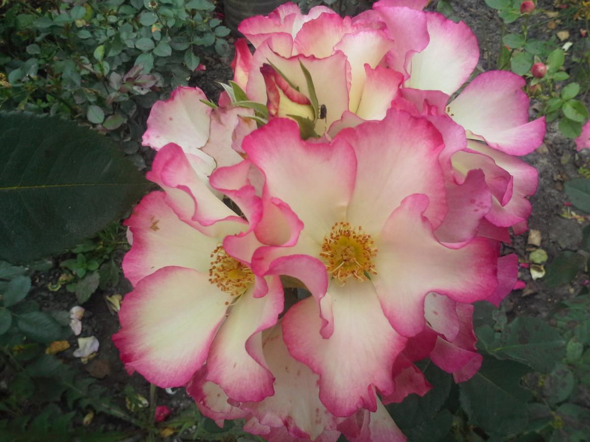 Роза Лиола (Liola) Флорибунда
