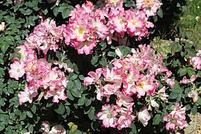 Роза Лиола (Liola) Флорибунда, фото 2