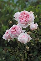 Роза Херитейдж (Heritage) Анг.