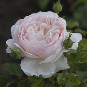 Роза Херитейдж (Heritage) Анг., фото 2