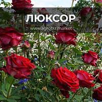 Чайно-гибридные розы сорта Люксор