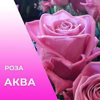 Чайно-Гибридная роза сорта Аква