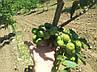 Саженцы грецкого ореха Иван Багряный (ПРИВИТЫЙ)  2-х летний, фото 4
